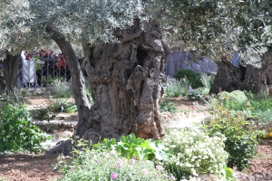 Ancient Olive Tree in the Garden.  This tree is hundreds of years old.