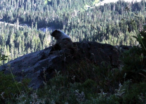 Even the Marmots appreciate the wonder of God's creation.  This fellow was on a rock outcropping on the side of Pinnacle Peak gazing out toward Mount Rainier.