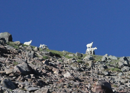 Mountain goats above me on Burroughs Mountain #1.