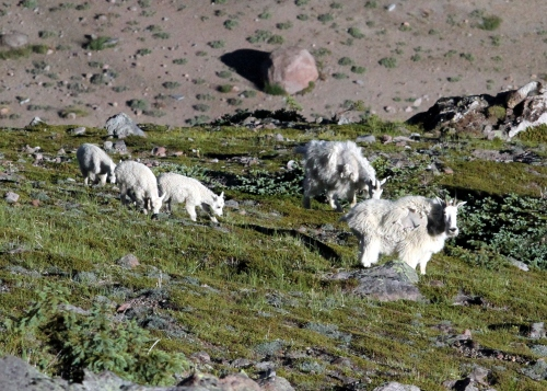 Family of Mountain Goats on the side of Burroughs 1