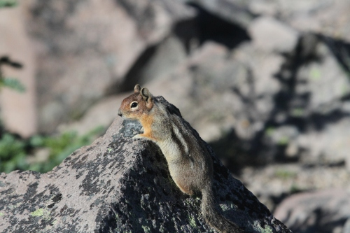 Even though the conditions are brutal for much of the year, chipmunks were in abundance wherever I hiked.