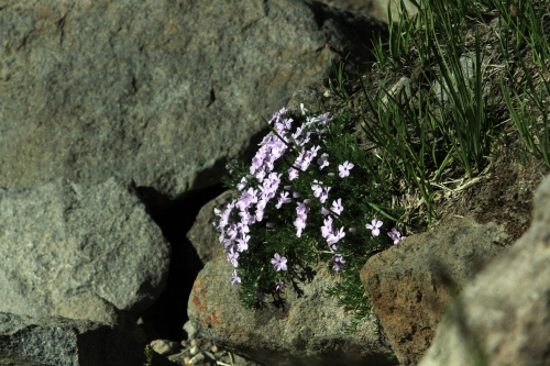 Phlox growing wild on the side of Burroughs Mountain.