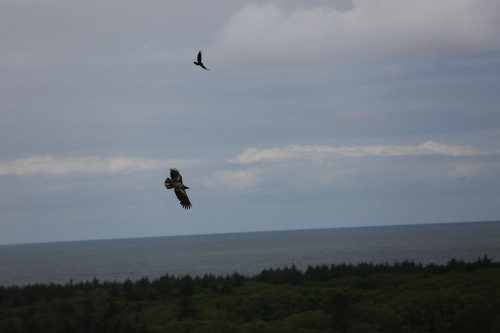 Raven harassing a Golden Eagle.