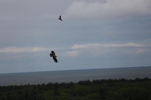 Raven harassing a Golden Eagle.