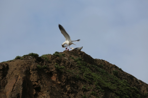 Haystack Rock was alive with Sea Birds. This gull was fluffing up it's nest. There were also dozens of cormorant and puffins roosting on the Rock.