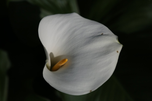 One small section of the garden was an English style tea garden where I spied this Calla Lily straining toward the late afternoon sun.