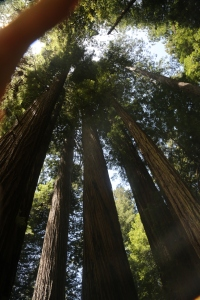Looking up in the Redwood Forest.