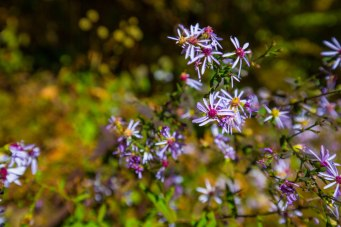 Asters - the last of the wildflower blooms.