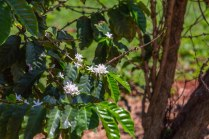 Coffee shrubs.