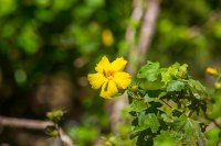 The state flower of Hawai'i, the yellow hibiscus.