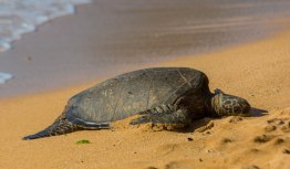 Everywhere else, Sea Turtles only come ashore to lay eggs.
