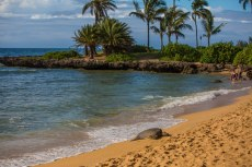 But the beaches here are just too inviting for the Green Sea Turtles who seem to enjoy sun-bathing in the afternoons.