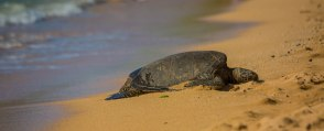 Levent told us this female Sea Turtle, #47, frequently suns on this beach.