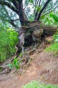 Gnarled tree on Nu'uanu Pali. The breeze through here almost never stops.